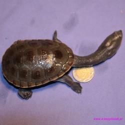 Żółw wężoszyjny [Chelodina siebenrocki, rugossa] afrykańska wodnolądowy